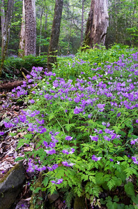 These purple flowers bloom profusely in the Great Smoky Mountains in Spring.