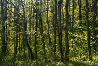 The spring forest near Pearson's Falls, Tryon, North Carolina.