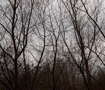 These trees look spooky on a dreary winter's day.