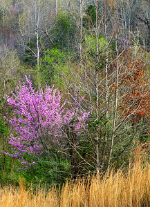 The redbud trees bring a splash of color to the early spring landscape in western North Carolina.
