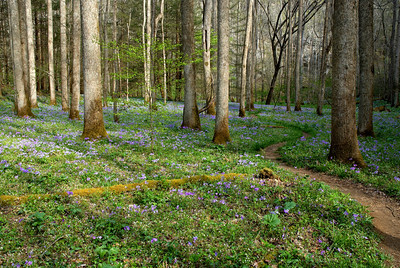 Blue flowers carpet the forest floor near Schoolhouse Gap Trail, Great Smoky Mountains.