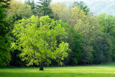 A bright green spring tree in Cades Cove, Great Smoky Mountains.