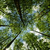 The tree canopy as viewed from Baxter Creek Trail, Great Smoky Mountains.