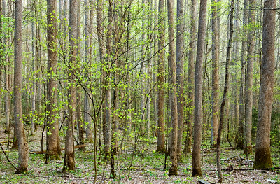 Spring forest, along the Baxter Creek Trail, Big Creek area, Great Smoky Mountains National Park.