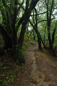 © Joseph Dougherty. All rights reserved.   Path through the woods, beneath California bay laurel trees.
