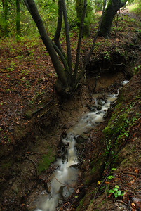 © Joseph Dougherty. All rights reserved.   Rainstorm runoff creates a seasonal stream through a California forest.