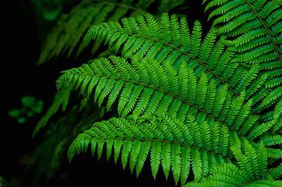 Three Fern Branches