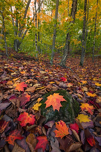 Fallen Leaves In Crawford Notch