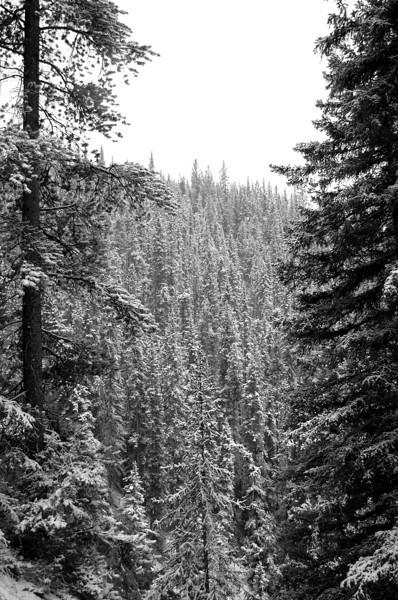 SnowyFirTrees1
