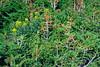 AlpineTrees4