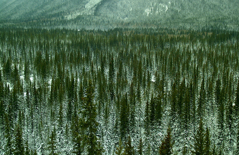 SnowyFirTrees4