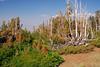 AlpineTrees1