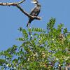 De aalscholver (Phalacrocorax carbo), ook wel scholver, scholverd of schollevaar genoemd, is een tamelijk grote en opvallende vogel. De in West-Europa voorkomende aalscholver behoort tot de familie van de aalscholvers (Phalacrocoracidae), waarvan 36 soorten bekend zijn. Het zijn allemaal vrij grote watervogels die voornamelijk van vis leven. Ze vormen met de genten, fregatvogels en slangenhalsvogels een eigen clade.