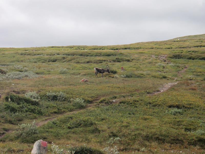 Vi kommer ganske nærme reinsdyret før han gir seg med etinga.