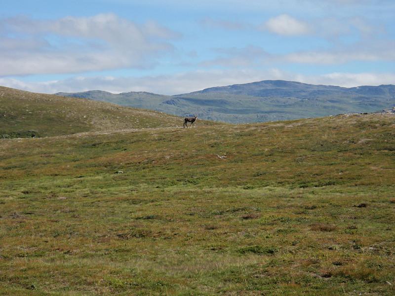 Nok et reinsdyr ute i Trollheimsnaturen.