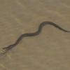 Green Water Snake - 2439