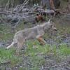 Wolf - Dryden, Ontario
