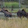 moose: Alces alces, Algonquin Provincial Park