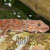 Tokay gecko (Gekko gecko)<br /> Laguna Bay, Philippines