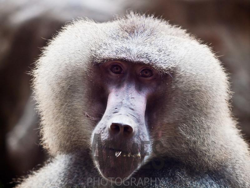 Hamadryas Baboon (Papio hamadryas) <br /> Singapore Zoological Gardens, Singapore