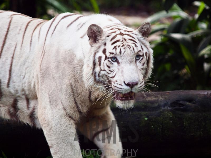 Bengal White Tiger (Panthera tigris)<br /> Singapore Zoological Garden, Singapore