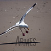 Gull, Drakes Beach, Point Reyes National Seashore, California