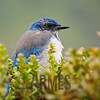 Western Scrub-Jay (Aphelocoma californica)<br /> Bunker Road, Mt Tamalpais State Park, CA