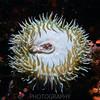 Sea Anemone<br /> Monterey Aquarium, Monterey, CA
