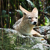 Coyote<br /> Singapore Zoological Gardens, Singapore