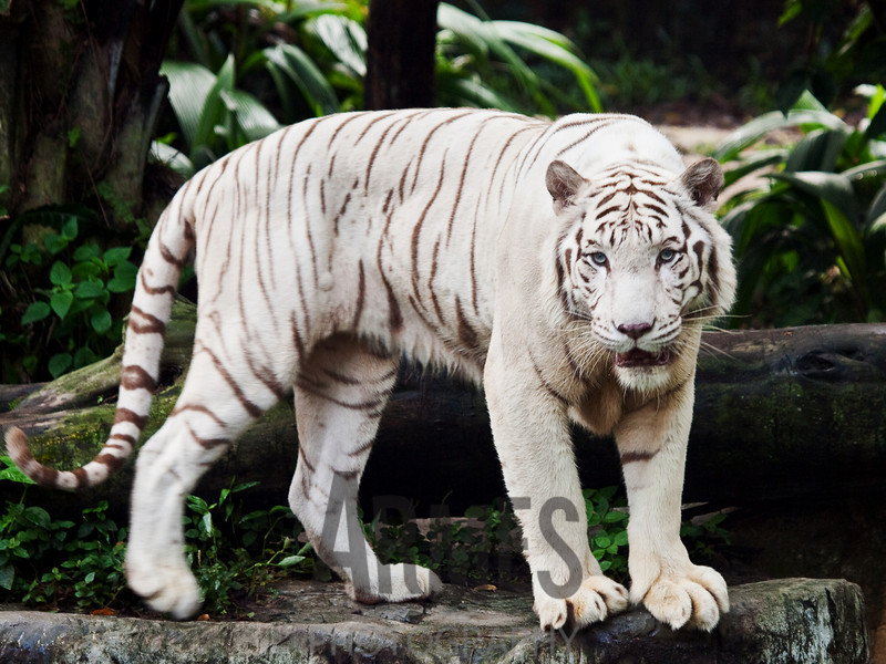 Bengal White Tiger (Panthera tigris)<br /> Singapore Zoological Garden, Singapore
