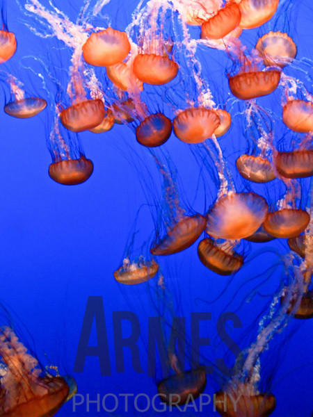 Jellyfish<br /> Monterey Aquarium, Monterey, CA