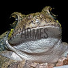 Cope's gray treefrog (Hyla chrysoscelis) <br /> Raleigh, North Carolina, USA