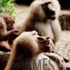 Hamadryas Baboon (Papio hamadryas)<br /> Singapore Zoological Gardens, Singapore