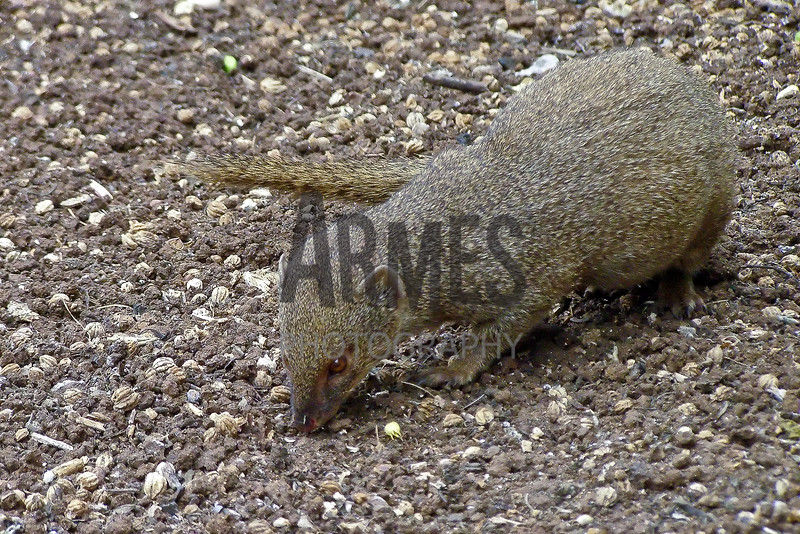 Mongoose<br /> Hanauma Bay, Hawaii, USA
