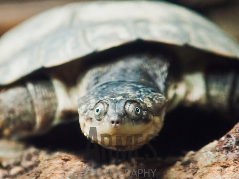 Mud turtle<br /> Singapore Zoological Gardens, Singapore