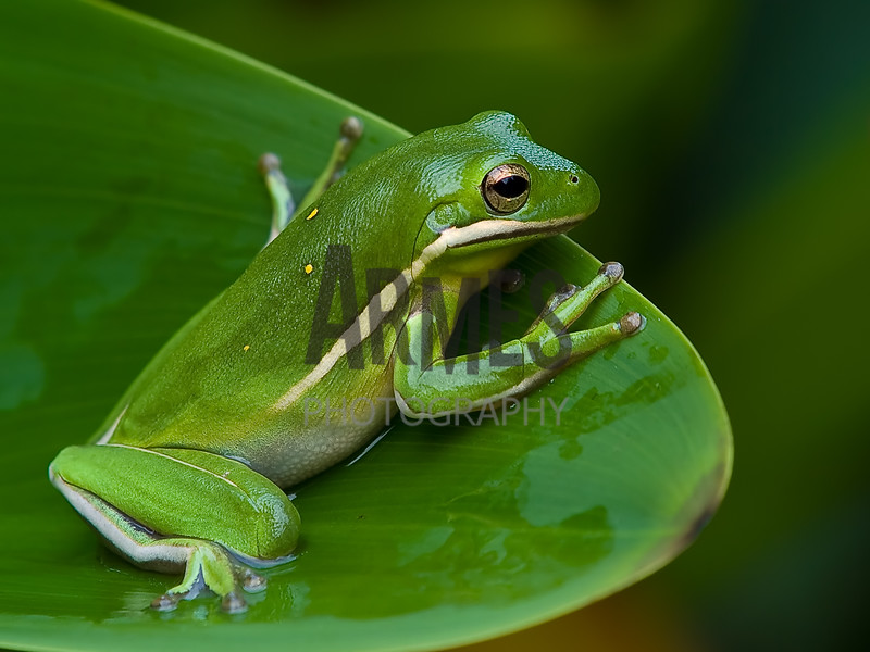 Green Treefrog (Hyla cinerea)<br /> North Carolina, USA