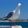 Seagull,<br /> Santa Cruz, California