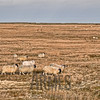Sheep (Ovis aries)<br /> A18 Mountain Road, Isle of Man, UK
