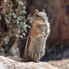 Golden-mantled Ground Squirrel (Spermophilus lateralis), Bryce Canyon National Park, Utah, USA
