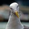 Western gull (Larus occidentalis)<br /> Fisherman's Wharf, San Francisco, CA