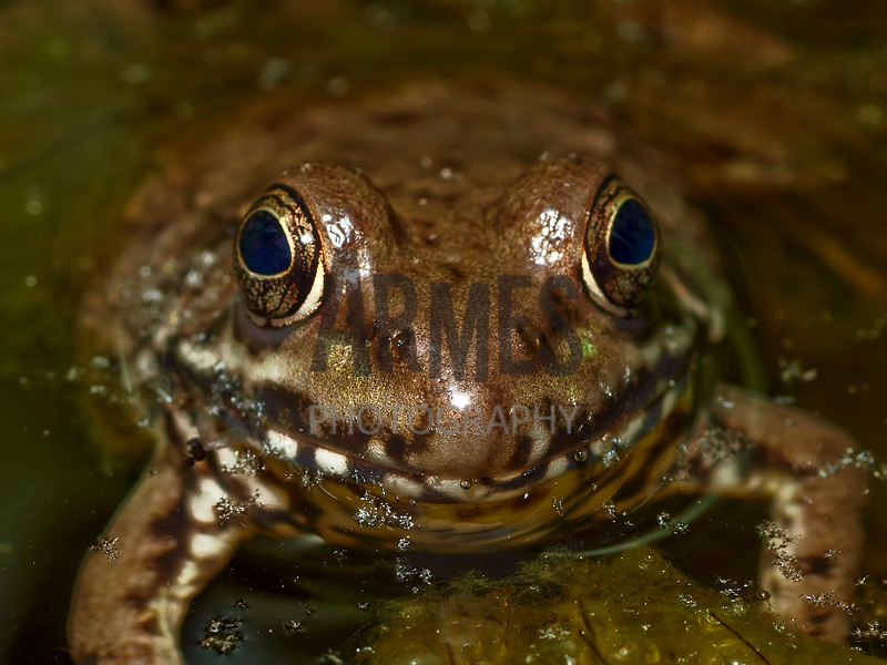 Green Frog (Rana clamitans)<br /> North Carolina, USA