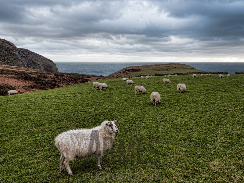 Sheep (Ovis aries)<br /> Calf Sound, Isle of Man, UK