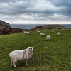 Sheep (Ovis aries)<br /> Calf Sound, Isle of Man, UK