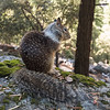 California Grey Squirrel (Otospermophilus beecheyi), Yosemite National Park, California
