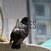 Rock Pigeon (Columba livia) <br /> Union Square, San Francisco, California