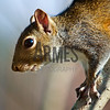 Eastern Gray Squirrel (Sciurus carolinensis)<br /> Raleigh, North Carolina, USA
