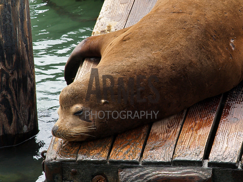 California sea lion (Zalophus californianus) <br /> Pier 39, Fisherman's Wharf, San Francisco, CA