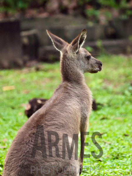 Grey Kangaroo<br /> Singapore Zoological Gardens, Singapore