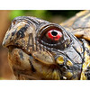 Eastern Box Turtle (Terrapene carolina) - male<br /> North Carolina, USA