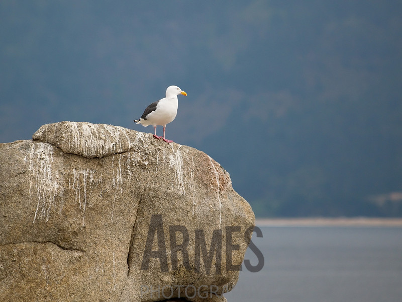 Seagull,<br /> Pebble Beach, Carmel, California